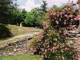 Rambling Rose in Garden